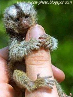 le plus petit singe du monde